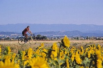 Cyclist Among the Sunflowers