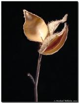 Empty Seed Pod