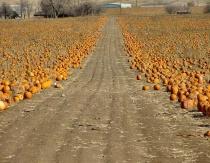 Pumpkin Road