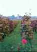 Vineyard in Franc...