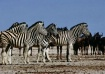 Zebra and Wildebe...