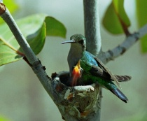 Blue-tailed Emerald Hummingbird and hatchling