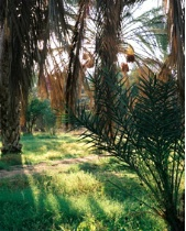Date Plantation in the Sahara