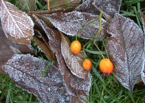 Frozen leaves with berries