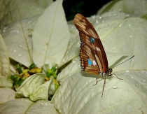 A Christmas Butterfly