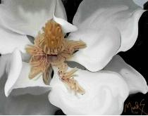 ole Magnolia revisited