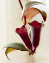 lipstick plant flowers