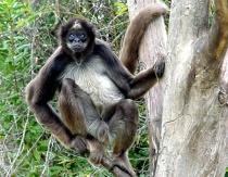 Columbian Brown Spider Monkey