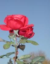 December Rose