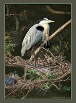 Great Blue Heron, Nesting No.1