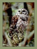 Barred Owl No.1