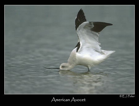 Avocet Stretch