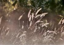 Fountain Grass #1