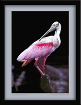 Roseate Spoonbill No.1