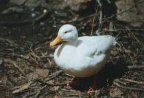 Duck !