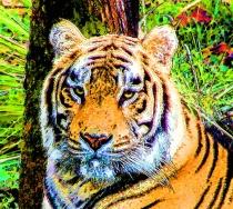 Tiger, tiger, burning bright