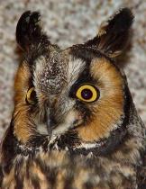 Long Ear Owl