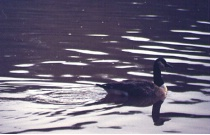 Solitary duck in pond