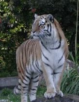 Siberian Tiger @ San Francisco