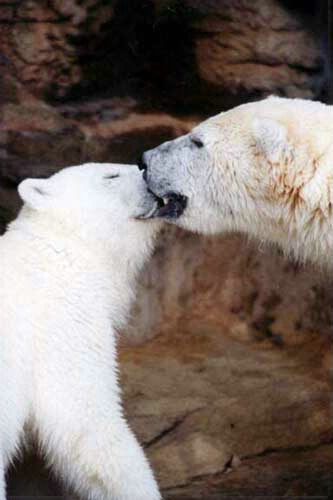 Kissing bears