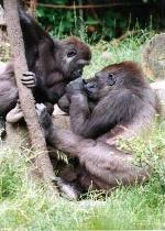 Gorilla pair