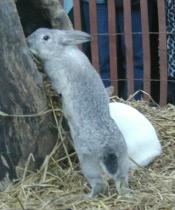 Gray Rabbit looking for groundhog Malverne Mel