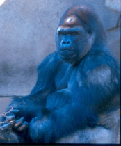 Gorilla Cincy Zoo