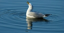 Shorebird on Lake