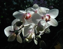 Orchids and Light