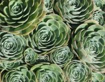 Succulent in circles