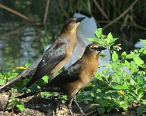 Grackle Pair