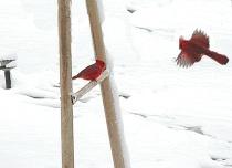 2 cardinals
