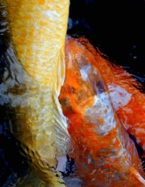 Shy or Coy?  (oops, meant to say koi)