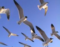Seagulls on Indian Rocks Beach