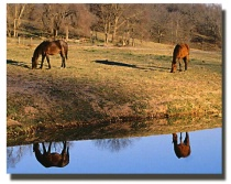 Reflections of Horses