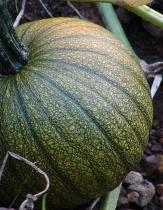 turning pumpkin