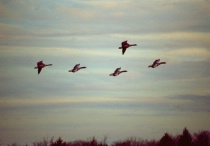 Geese Migrating for Summer in NW AR