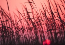 Sea grasses at sunset