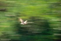 Pan:  Bird in flight