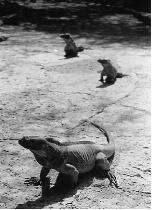 Iguanas del Lago