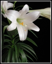 Easter Lily !!