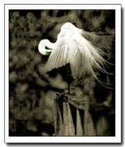 Prenning Egret