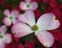 Pink Dogwood & Red Azaleas