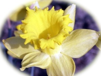Oops...not a Tulip but a Daffodil