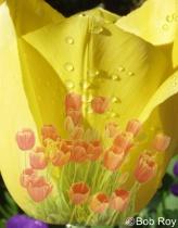 Tu tulips