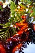 Reflections on Koi