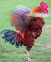 Rooster Protecting His Territory