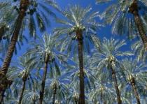 Palms.tif