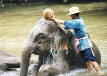 Elephants in north Thailand