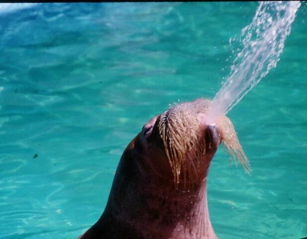 Walrus Spitting